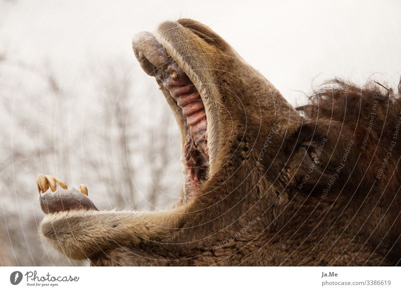 Brown camel Bactrian camel yawning with open mouth in the zoo, outdoor shot, detail shot Animal animal world fauna Mammal Nature Wilderness Love of nature