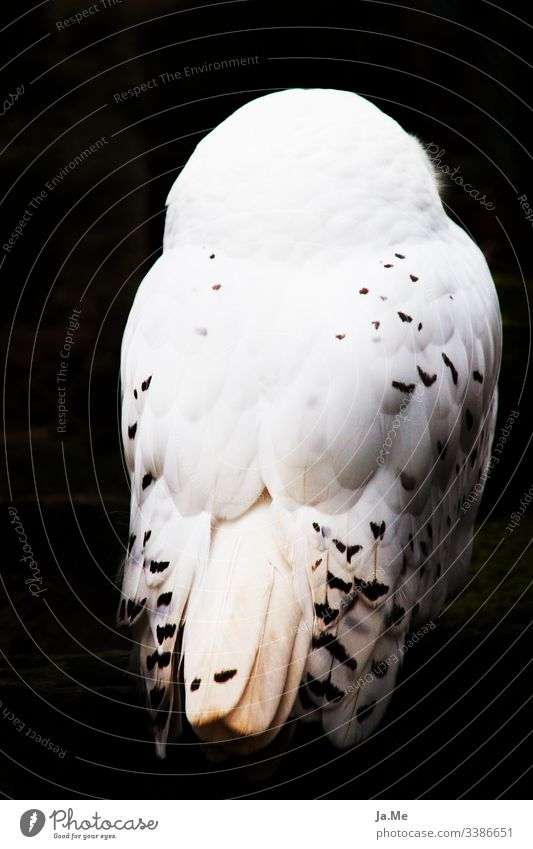 White snowy owl in front of black background, rear view, feathers in detail Nature fauna animal world Animal Bird Zoo 1 Rear view bird of prey Bird of prey