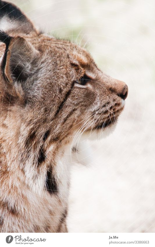 Portrait of a brown lynx, side view, view averted from camera, detail view Animal Animal portrait Animal face Mammal Cat animal park Wild animal Carnivore