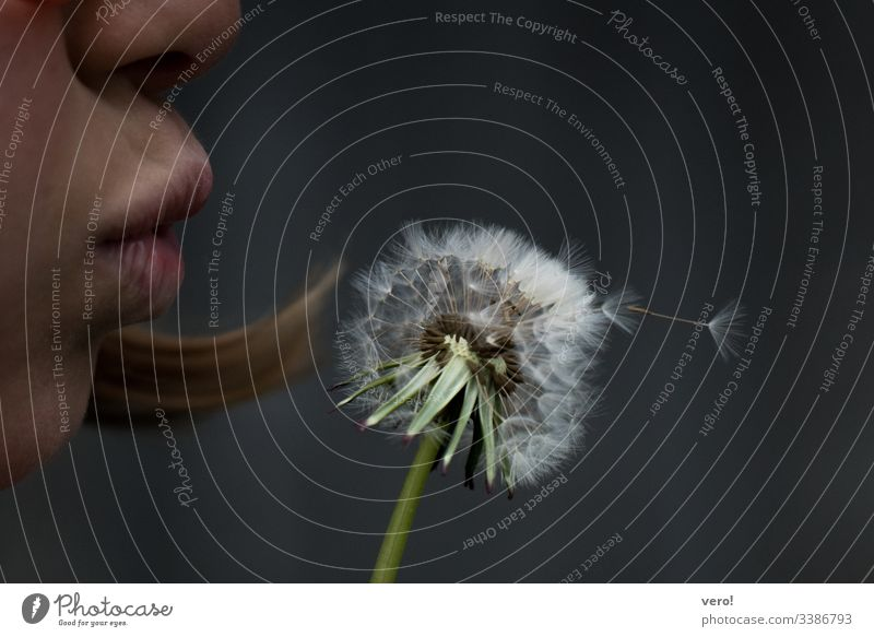 Dandelion Detail Flower Nature Emotions Day Neutral Background Copy Space top Close-up Exterior shot Colour photo Blow Transience Environmental protection Dream