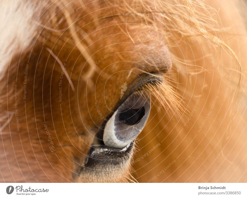 Close up of a blue-grey eye of a chestnut horse Eyes Horse Blue Gray macro photography detail Close-up see Looking Fox Pelt Mane Intensity Pupil hair Animal