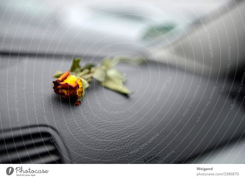 parted Rose Motoring Goodbye Grief Sadness depression Hopelessness Blossom sorrow Transience