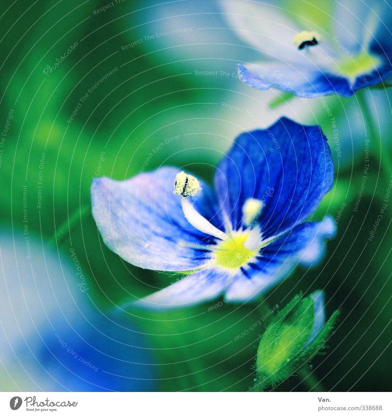 Missing is: springtime Nature Plant Spring Flower Blossom Pistil Blossom leave Bud Garden Fresh Blue Green Colour photo Multicoloured Exterior shot Close-up