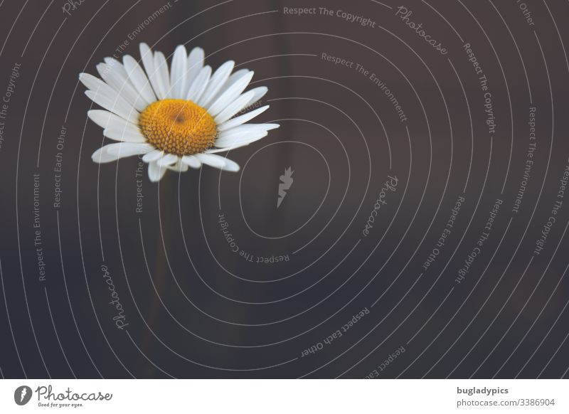 Single daisy on dark blurred background Marguerite Flower Plant Individual solitary Copy Space right Nature natural Summerflower white blossom Lonely