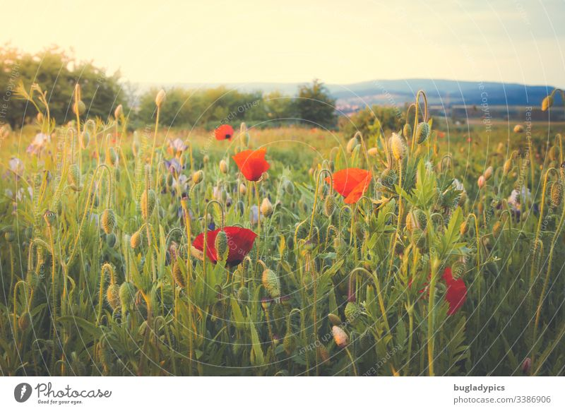 Flower meadow with lots of poppy seeds in the evening sun Corn poppy poppies Poppy blossom garden flowers wild garden Nature Landscape Summer evening Plant Red