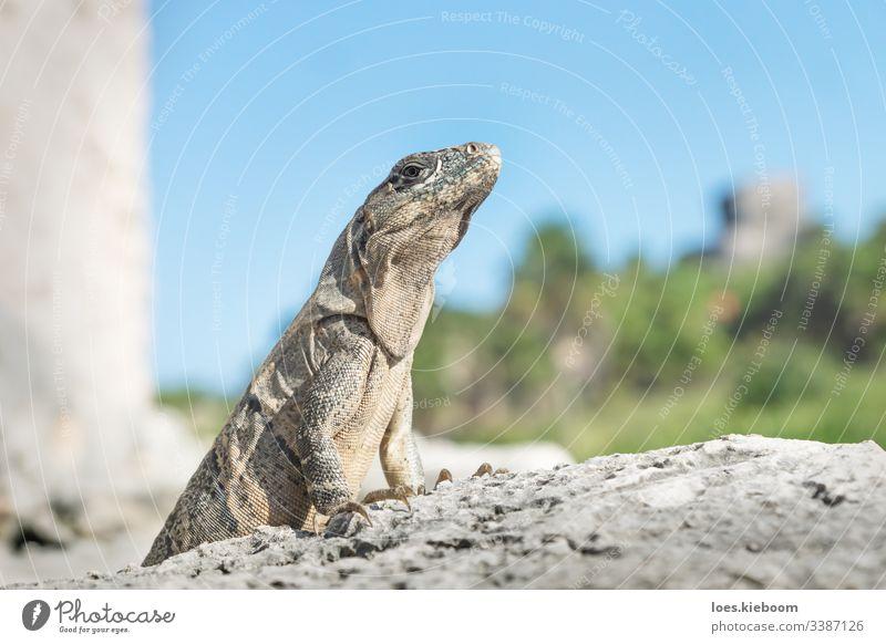 Iguana proudly posing in ruins of Tulum, Mexico iguana reptile mexico tulum pose tropical wildlife attitude animal caribbean mexican travel yucatan beautiful
