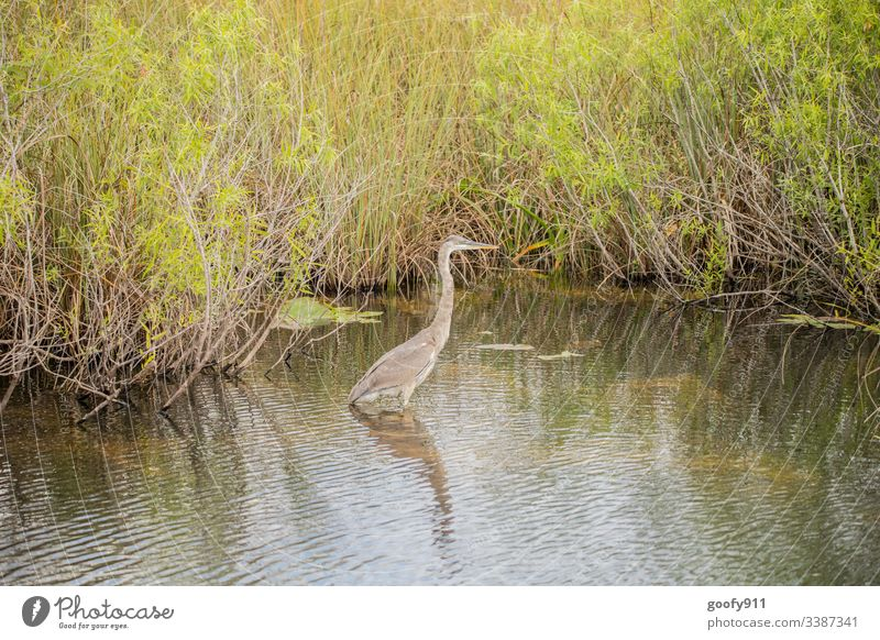 Gray Heron in the Everglades Bird Feather Animal Everglades NP Florida USA Landscape Exterior shot Colour photo Nature Vacation & Travel Environment Water Trip