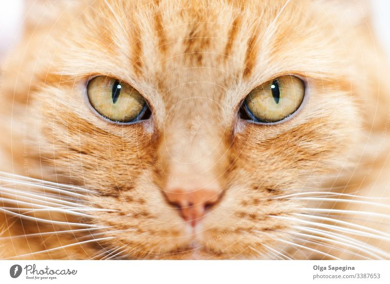 old red cat face animal close up portrait domestic eyes feline kitten head close-up pet mammal cute fur nose looking kitty hair furry whiskers staring beautiful