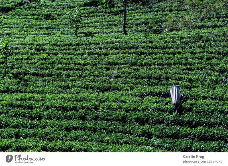Worker in a tea plantation in Sri Lanka Tea Tea plantation travel Railroad Green Black White Ceremony labourer Pick food and drink Freedom enjoyment Ceylon Asia