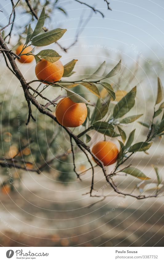 Oranges in a tree Orange juice Colour photo Healthy Fruit Vitamin Nutrition Vitamin C Citrus fruits Food citrus Healthy Eating Organic produce Juicy Close-up