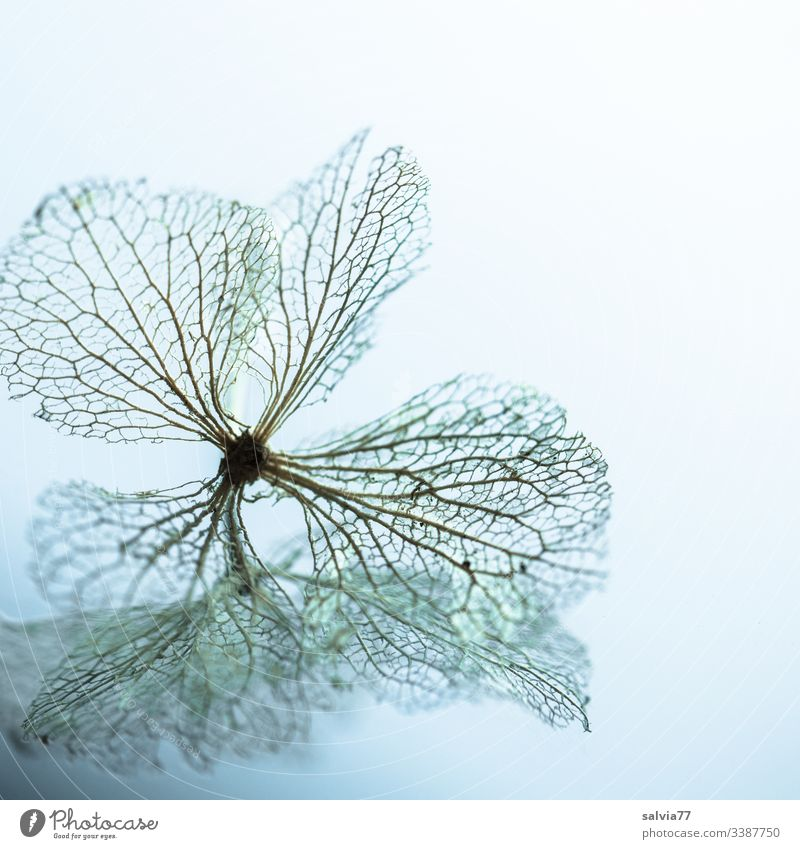 Mirror image of transience Nature Macro (Extreme close-up) Blossom Hydrangea blossom Structures and shapes Transience Rachis Deserted Shallow depth of field