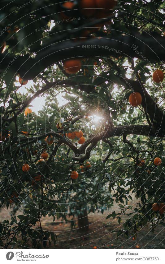 Oranges in a tree Orange tree Orange plantation Colour photo Exterior shot Nature Day Tree Light Copy Space bottom Healthy Sunlight Environment Detail Fruit