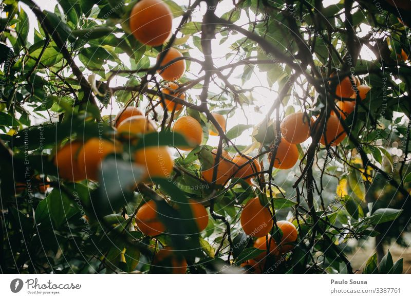 Oranges on a tree Orange juice Orange tree Vitamin Vitamin-rich Vitamin C citrus Citrus fruits Fruit Nutrition Healthy Eating Fresh Yellow Organic produce Food