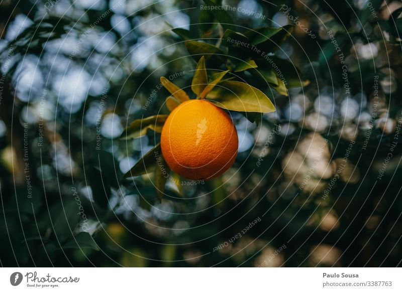 Isolated Orange in a tree closeup background natural green color detail Natural Nature Exterior shot Orange tree Vitamin C Shallow depth of field Day