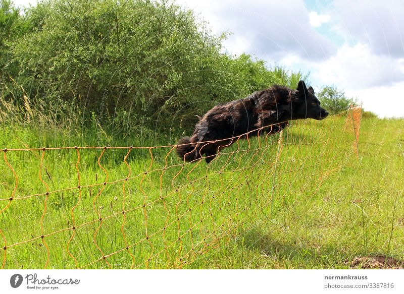 Dog jumps over a fence Jump Fence herding dog cordon obstacle watchdog Meadow action exercise fun Black Exterior shot Colour photo