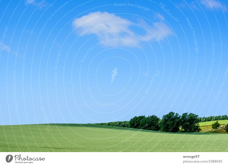 Green hilly field under blue sky with a few clouds Field Cornfield early summer Spring wax Nature Grain Landscape Agricultural crop Grain field Deserted