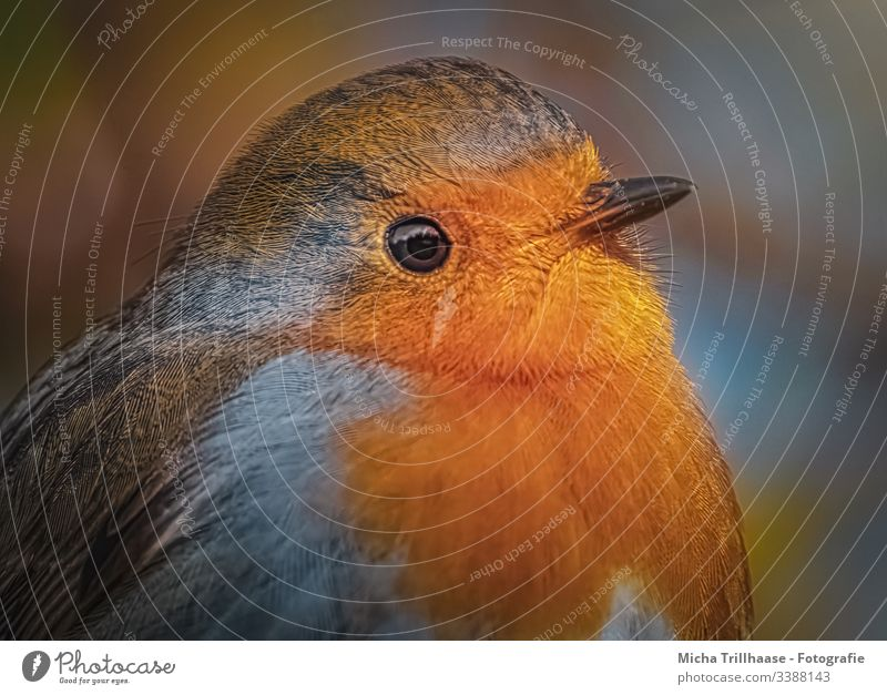 Redthroat Portrait Robin redbreast Forward Looking into the camera Half-profile Front view Upper body Animal portrait Portrait photograph Sunbeam Contrast