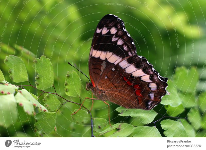 butterfly Animal Wild animal Butterfly 1 Sit Esthetic Exotic Near Beautiful Brown Green Red Black White Joie de vivre (Vitality) Calm Self Control Elegant