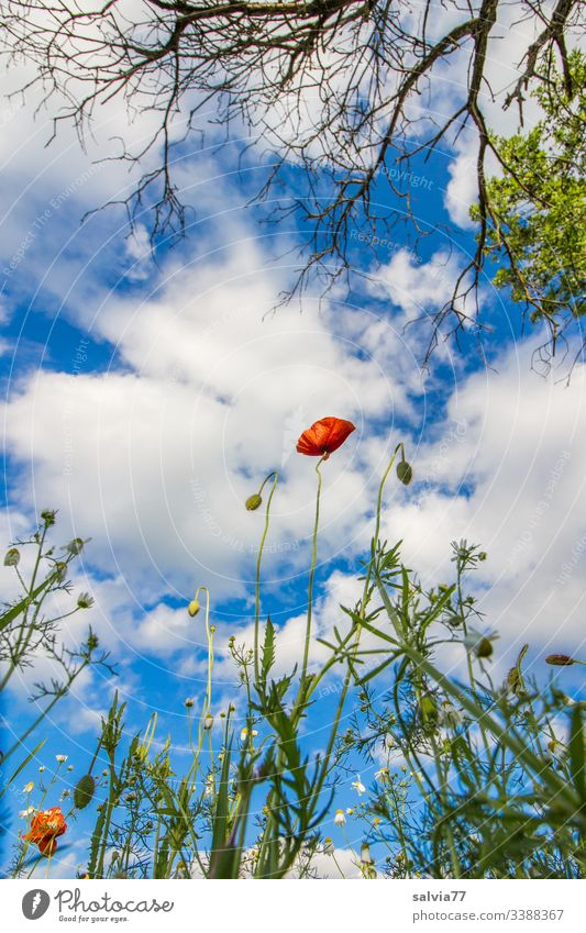 Corn poppy and tree from the frog perspective, blue sky with white clouds Nature Environment Seasons Poppy blossom arable plant Field Tree Branches and twigs