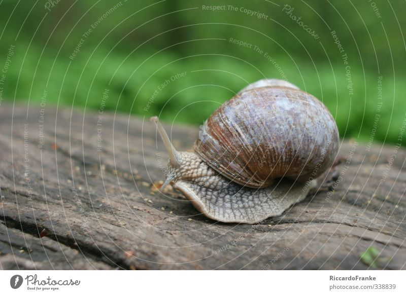 escargot Animal Snail 1 Sit Natural Slimy Brown Green Serene Patient Indifferent Speed Colour photo Exterior shot Close-up Day Shadow Low-key