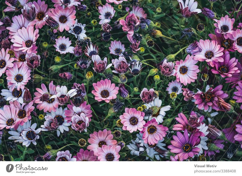 Flowers of Osteospermum 'Soprano Purple' commonly known as African daisy or Cape Daisy Flowering plant flower Plant fragility vulnerability Growth Freshness