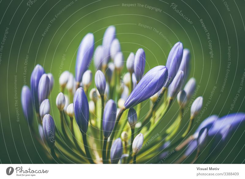 Pre-bloom flower of African lily also known as Agapanthus bressingham blue Flowering plant Plant fragility vulnerability Growth Freshness organic