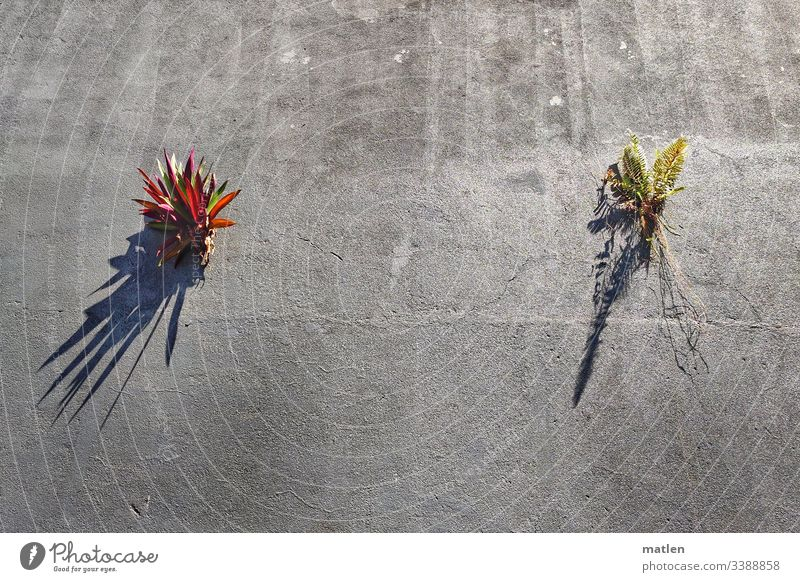 mauerBLÜMCHEN Wall (barrier) Plant Survive Claws tropics Gray Green Red crack in the wall Exterior shot Wall (building) Colour photo Deserted Growth Nature