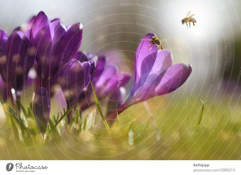 honeymoon bee garden beekeeping Bee Honey Pollen Crocus Spring Sunlight Meadow Nature Blossom amass insects Grass Bee-keeping Organic produce Healthy