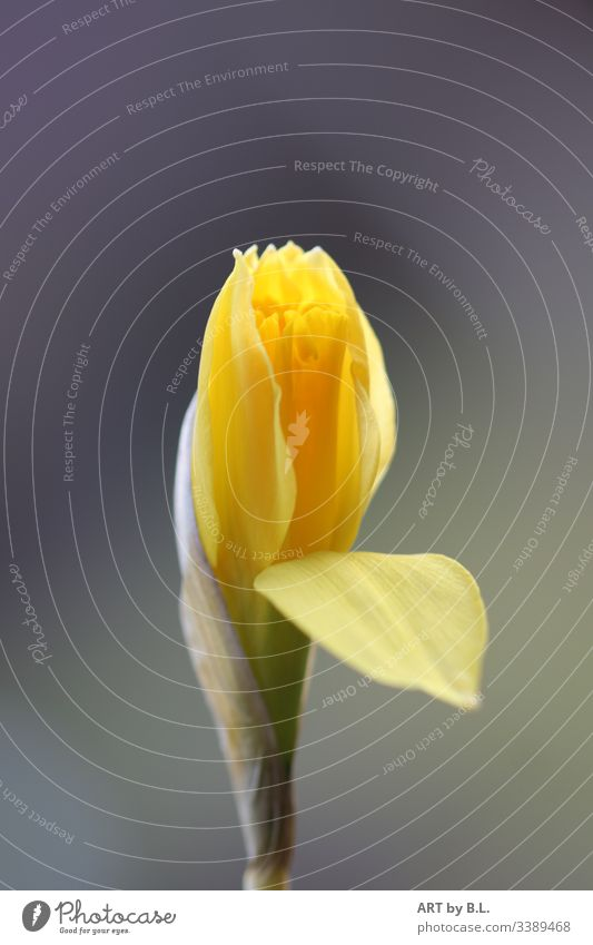 daffodil Flower Blossom bud Spring Yellow Green come into bloom Nature Close-up Plant Colour photo Blossoming Deserted Bell Spring flowering plant Blossom leave