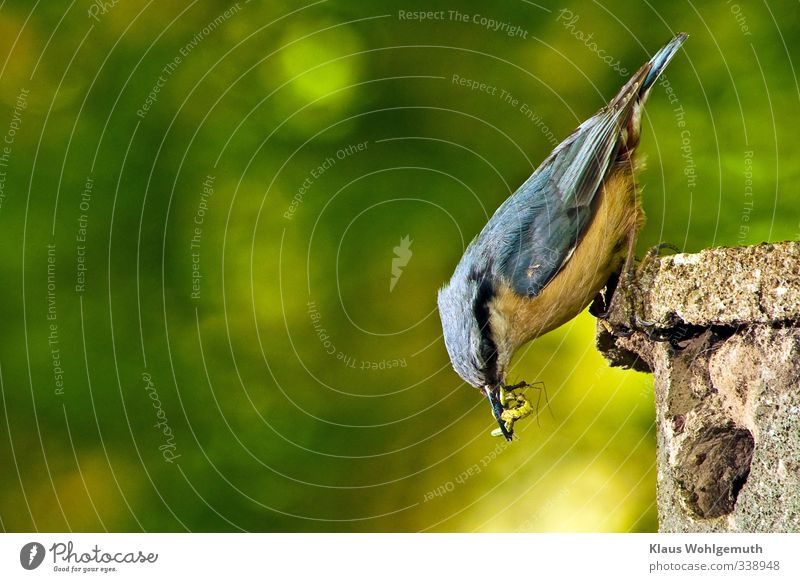Text space : left Animal Spring Summer Garden Park Forest Wild animal Bird Eurasian nuthatch 1 Feeding Blue Yellow Gold Gray Green Nesting box insects Worm