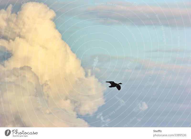 Afternoon sky with silhouette of a wild goose high up Sky Clouds Wild bird silent Mood lighting tranquillity Far-off places Silhouette Wild goose Beautiful