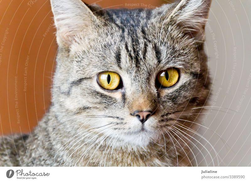 Cat portrait with yellow eyes cat feline pet animal stripe grey mammal moustache mustache whiskers sideburns