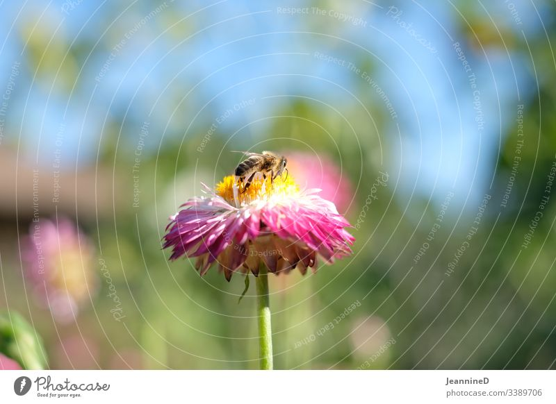 Bee on flower Flower Nature Summer Garden Insect Colour photo Blossom Environmental protection Pink Sky Pollen Honey Yellow Meticulous Love of nature