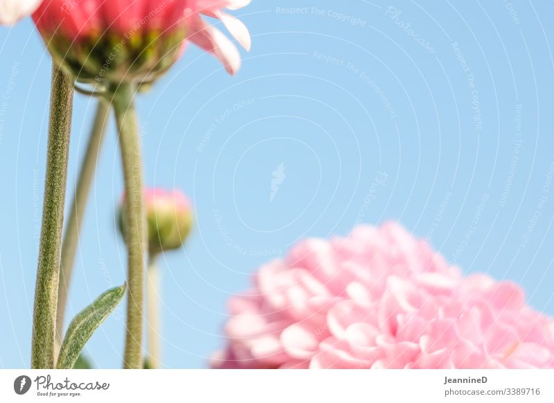 fuzzy flower in front of sky Flower Blossom Plant Close-up Pink Spring Neutral Background Shallow depth of field Deserted Blossoming Summer Delicate Beautiful