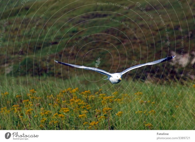 Low flying - or a seagull flies close above a meadow directly towards me. Bird Flying Grand piano Seagull Black-headed gull Feather Beak Animal Nature