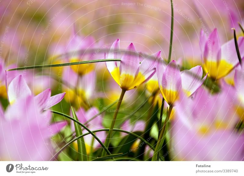 Tulip Lilac Wonder Light Violet Flower Blossom Green Tulip blossom Colour photo Plant Deserted Spring Blossoming Leaf Day Nature Pink White Yellow tulips