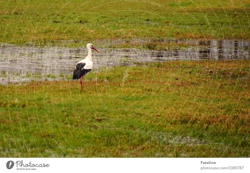 Stork on a meadow that is under water Bird Animal Exterior shot Colour photo Wild animal Day Nature Deserted Animal portrait Environment White White Stork Beak