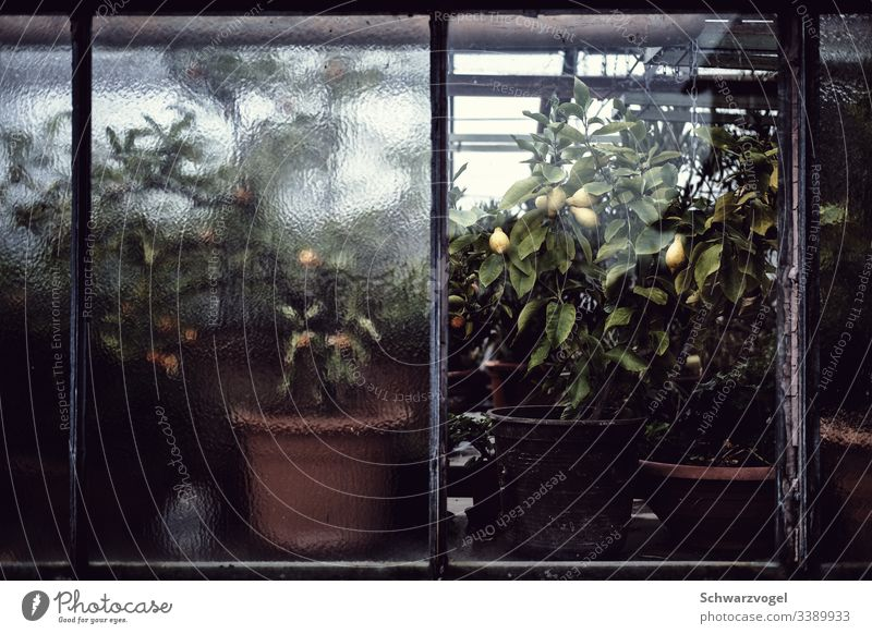Lemon plants in a greenhouse Citrus fruits Greenhouse Food Fresh Vitamin Fruit Yellow Slice opaque wax Market garden Growth Plant Calm Moody Building