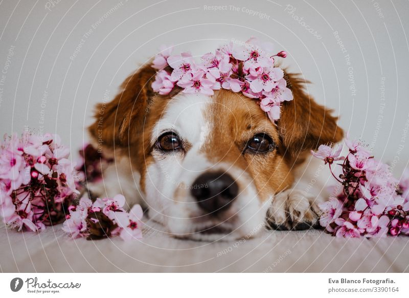 portrait of cute jack russell dog relaxing at home wearing a beautiful wreath of almond tree flowers. springtime concept pet crown decoration blooming pink