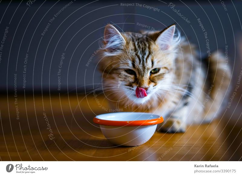 sweet tooth Cat kitten Animal Pet Colour photo Animal portrait Multicoloured Cute Beautiful Baby animal Interior shot Animal face hungry Tongue Deserted Day