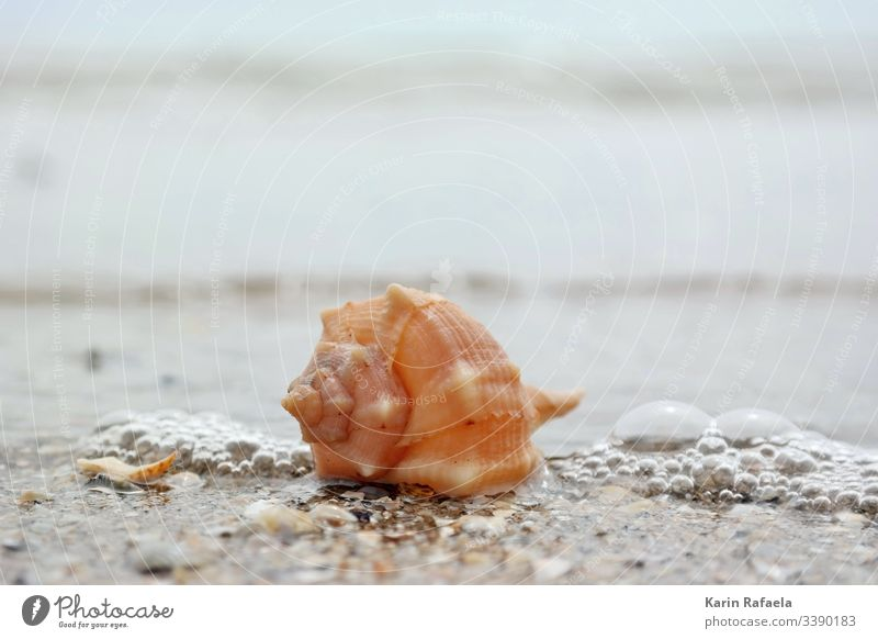 Shell in the surf Mussel Ocean Sandy beach Water Beach Coast Colour photo Exterior shot Waves Vacation & Travel Deserted Summer Wet Calm Beautiful weather