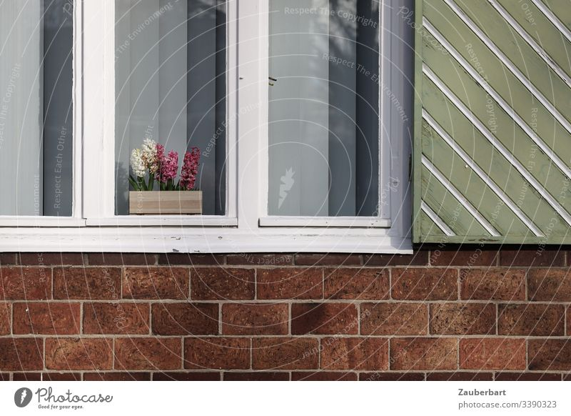 Hyacinths in the white window with green shutter on red brick wall Hyacinthus Flower Potted flower Window Window frame Shutter White Green Red Brick red