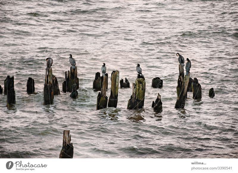 Cormorants sitting on groynes in the Baltic Sea Ocean Lake Group of animals new jaw birds Bird Water waterfowls Waves