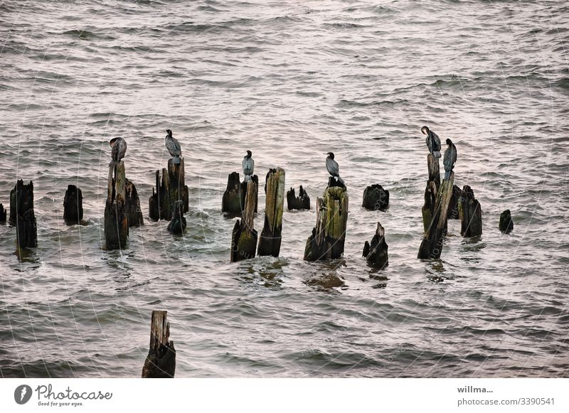 the other day I spent a whole afternoon at the seaside screwing Cormorants Ocean Lake Baltic Sea groynes Group of animals new jaw birds Bird Water waterfowls