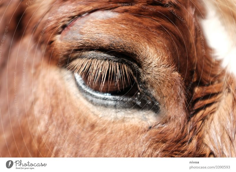 injured horse's eye Iceland Pony Horse violation Eyes Detail pale Animal Colour photo Exterior shot Day 1 Animal portrait Farm animal Nature Wild animal