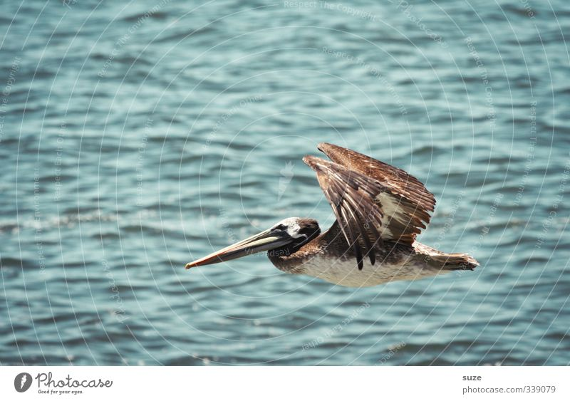jumbo jet Exotic Vacation & Travel Summer Environment Nature Animal Elements Air Climate Beautiful weather Wild animal Bird 1 Flying Exceptional Blue Pelican