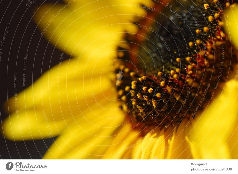 sunflower Flower Sunflower Seed Summer Yellow Plant Exterior shot Blossom Detail