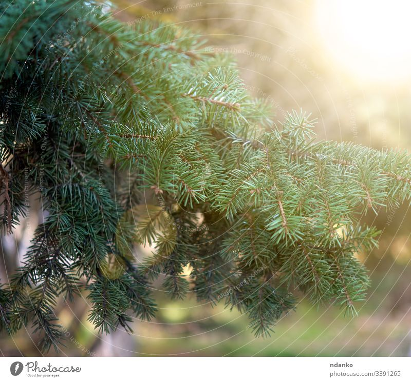 green spruce branch in the rays of the setting sun in the park tree fir pine nature season evergreen plant wood needle coniferous natural forest closeup