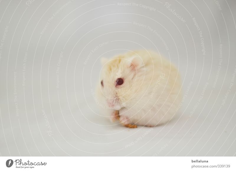 Luna | Breakfast Animal Pet Dead animal 1 2 To feed Sit Soft Red White Hamster Red Eyes mealworm Colour photo Subdued colour Interior shot Close-up Deserted