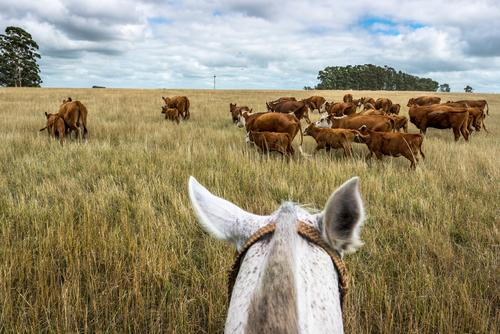 The rider carefully drives the mother cows with their calves through the high, dry grass in front of him Blue Brown Green Summer Nature Landscape horses Grass